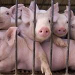 Gugulanii isi pot vinde porcii