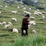 Ciobanii vor fi arsi la buzunare