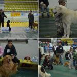 Un caniche, cel mai frumos caine de la Cupa Canina Banatul Montan