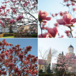Sa imprumutam din frumusetea magnoliilor