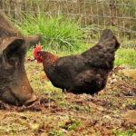Gripa aviară din Ungaria stopează vânzarea găinilor la… Caransebeș