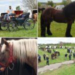 Bradu, calul de 10 mii de euro şi 1000 de kg, frumuseţea din Zerveşti!
